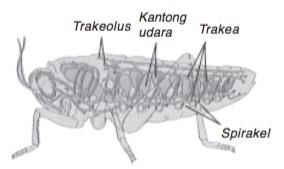 organ pernapasan serangga