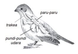 organ pernapasan burung