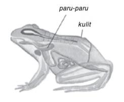 organ pernapasan reptil